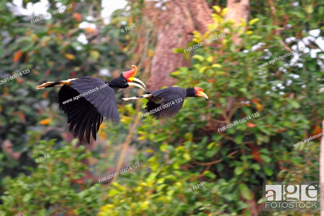 Rhinoceros Hornbill Buceros Rhinoceros Borneoensis Adult And Immature In Flight Sepilok Sabah Stock Photo Picture And Rights Managed Image Pic Fhr 02681 00014 123 Agefotostock