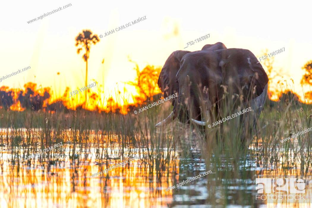 Photo de stock: AFRICAN ELEPHANT (Loxodonta ), Okavango Delta, Botswana, Africa.
