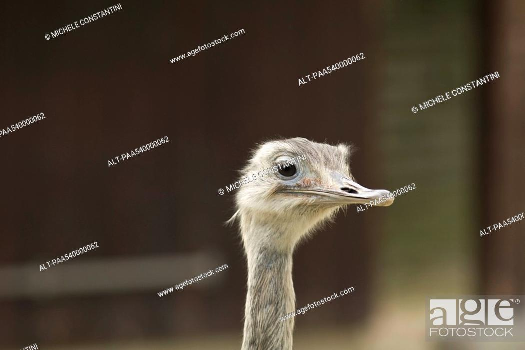 Stock Photo: Greater Rhea Rhea americana.