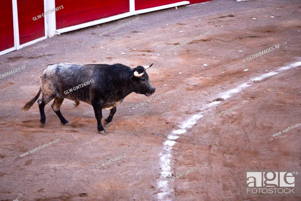 Stock Photo: Bull running in a bullring, Plaza De Toros San Marcos, Aguascalientes, Mexico.