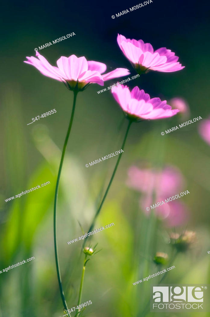 Stock Photo: Three Mexican Aster Flowers (Cosmos bipinnatus) blooming in a meadow. Maryland, USA.
