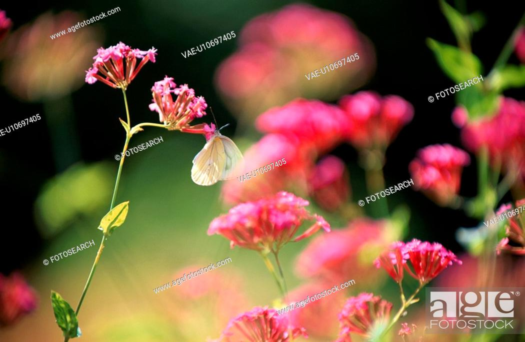 Stock Photo: Butterfly On Pink Flowers.