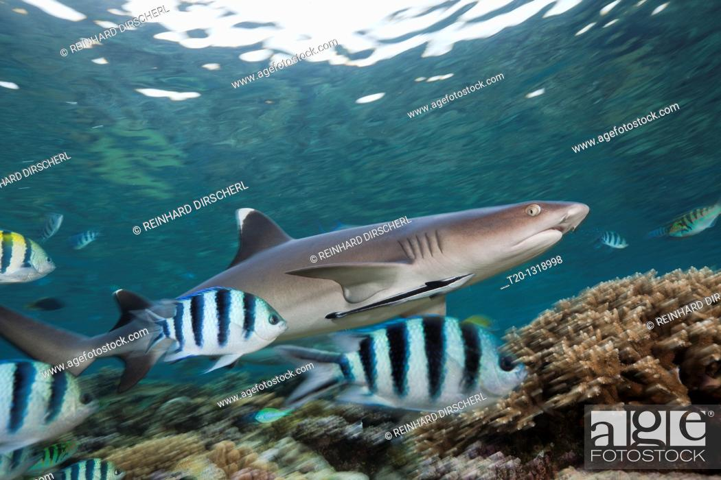 Stock Photo: Whitetip Reef Shark, Triaenodon obesus, Beqa Lagoon, Viti Levu, Fiji.