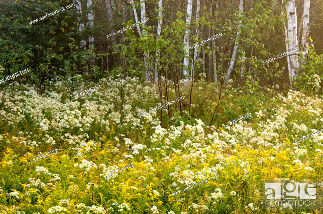 Stock Photo: Asters and goldenrod in field at edge of birch woodland at dawn. Ontario.