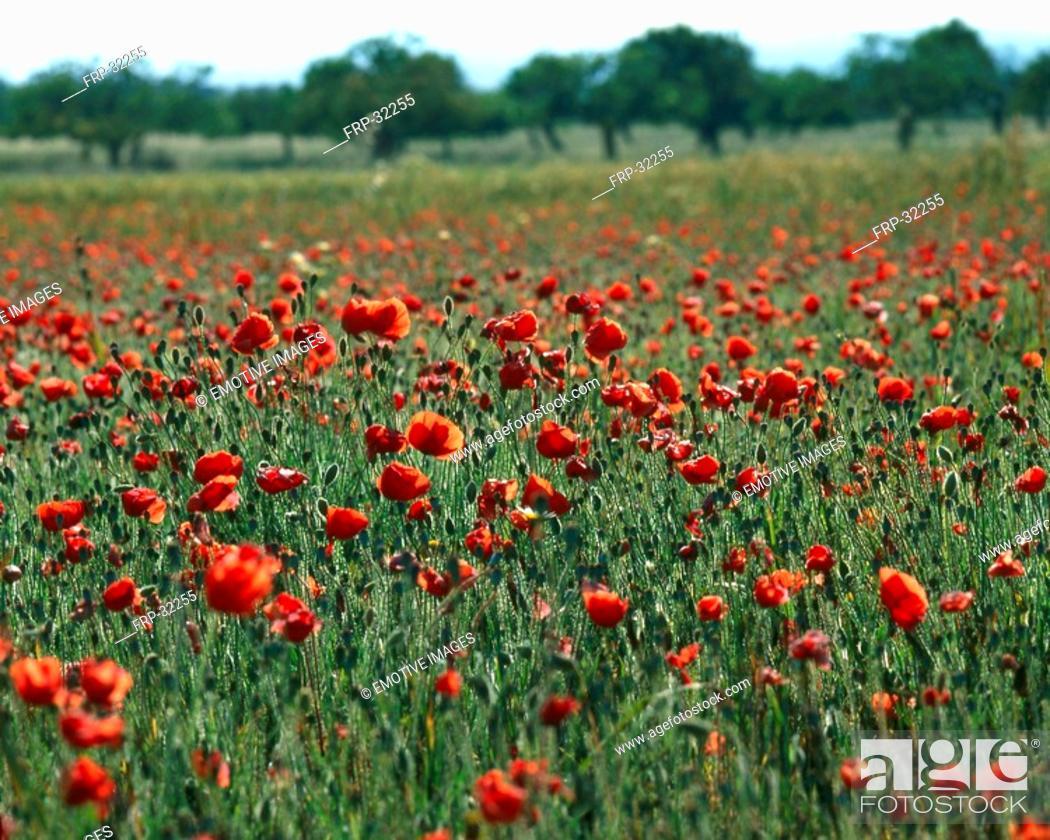 Stock Photo: Poppy meadow.
