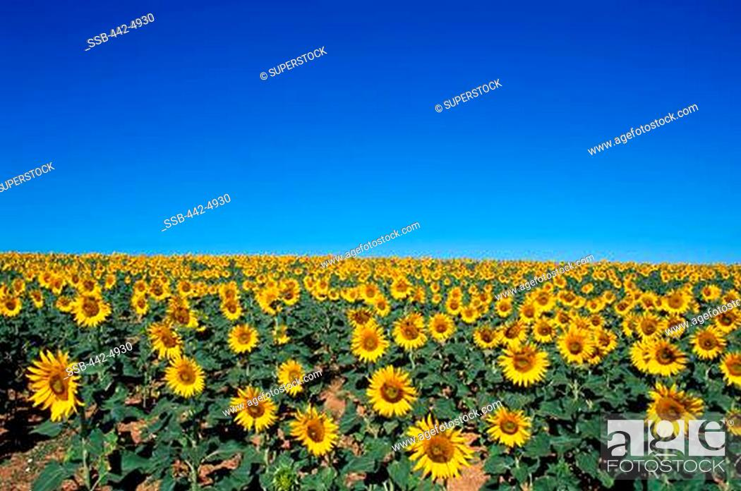 Stock Photo: High angle view of sunflowers in a field, Valensole, France.