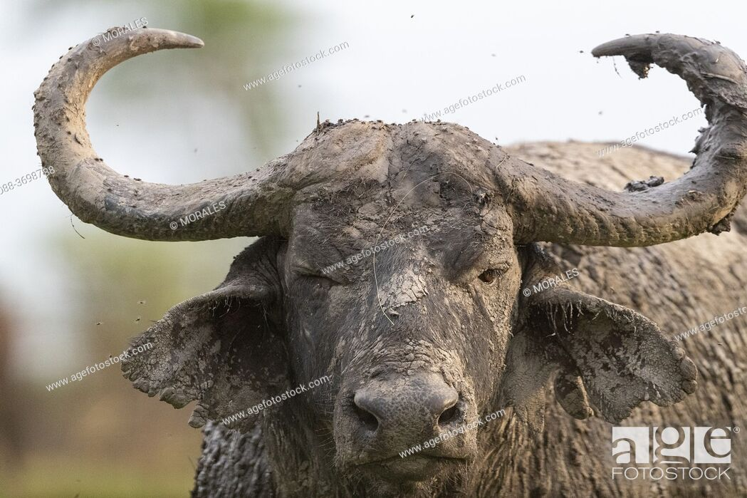 Stock Photo: Cape buffalo (Syncerus caffer) gather during the rainy season to graze the lush grasslands at Ishasha in the southwest sector of the Queen Elizabeth National.