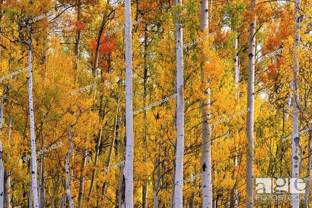 Stock Photo: Fall Aspen Display in San Juan Mountains of CO USA.