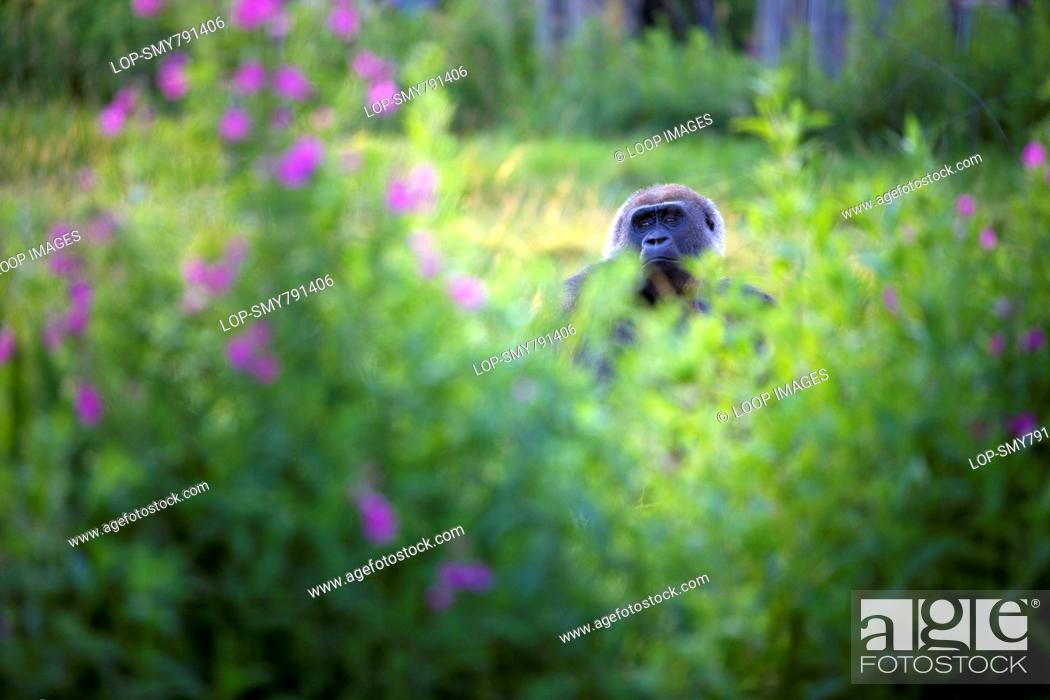 Stock Photo: Gorilla behind plants at London Zoo.