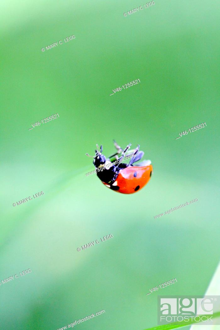 Stock Photo: Seven-spotted ladybird Beetle, coccinella septempunctata hanging on an invisible thread  The beetle is clinging to a very fine thread that is invisble to the.