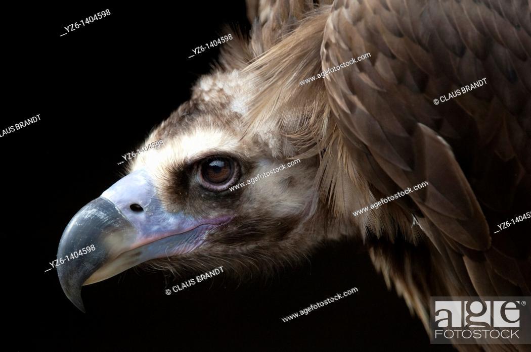 Stock Photo: Portrait of a Cinereous vulture (Aegypius monachus), captive, Eifel National Park, Germany.