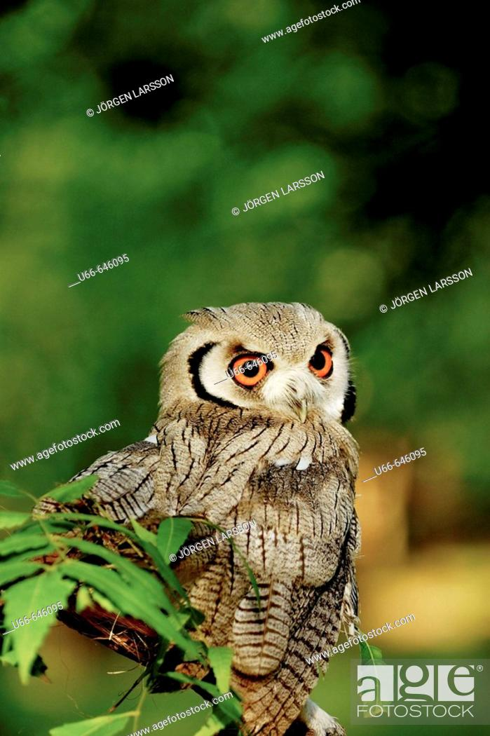 owl kenya mombassa stock photo picture and rights managed image