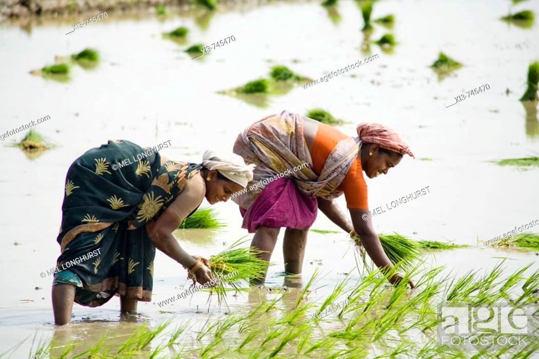 Stock Photo: Two women planting rice plants in a paddy field, Tamil Nadu, India.