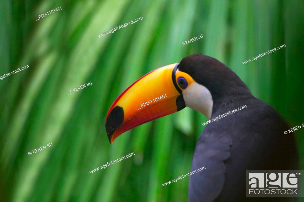 Stock Photo: Toco Toucan (Ramphastos toco) - Panama.