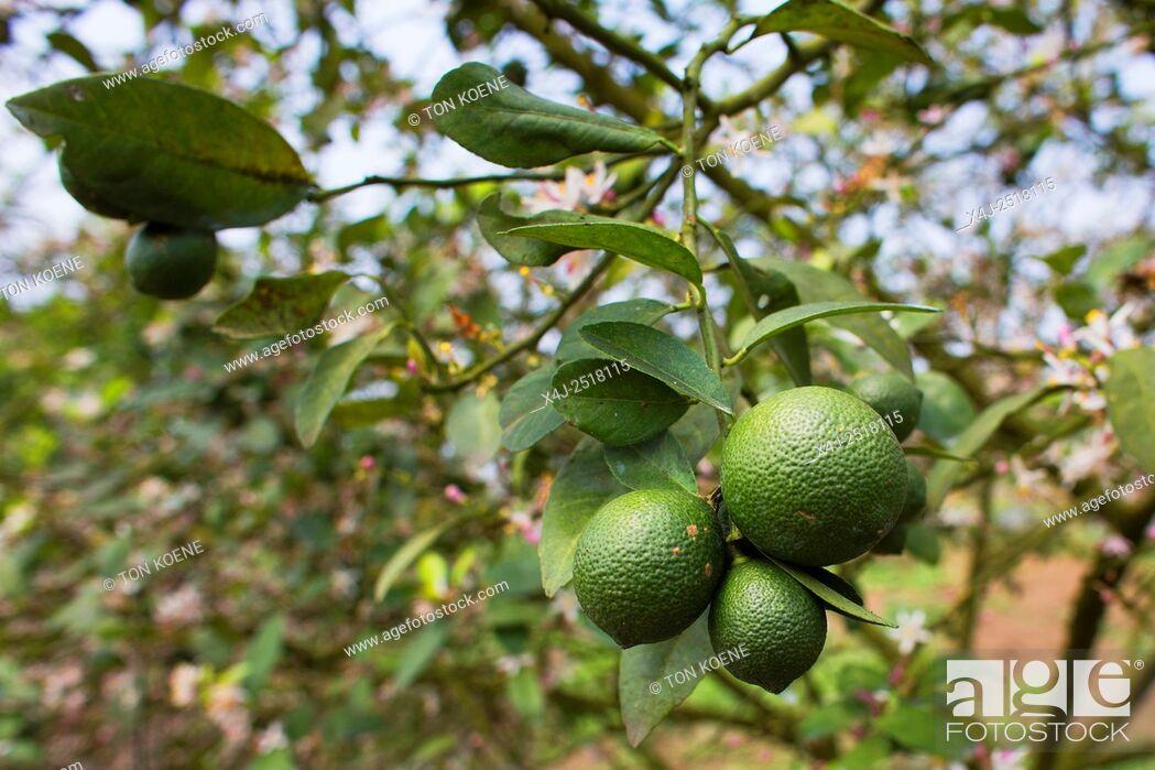 Photo de stock: lemons in Vietnam.