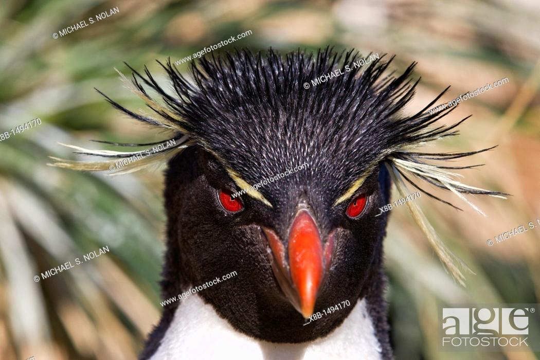 Stock Photo: Adult rockhopper penguin Eudyptes chrysocome chrysocome at breeding and molting colony on New Island in the Falkland Islands.