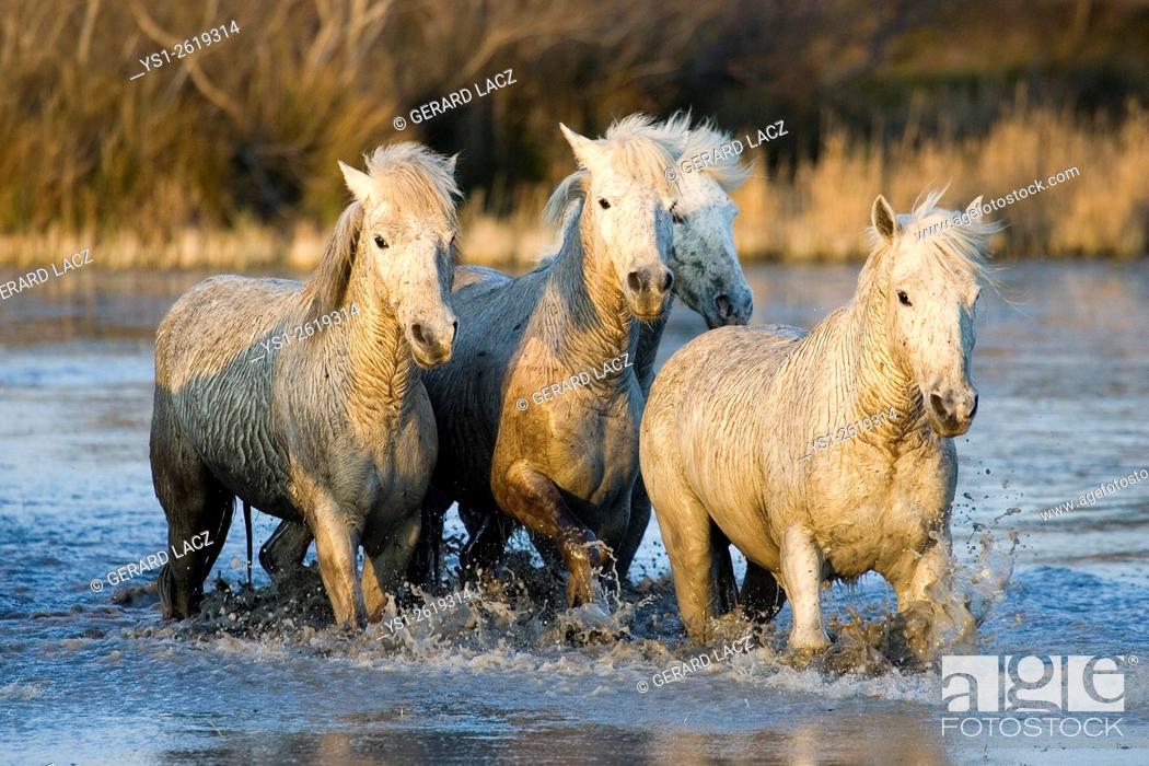 Stock Photo: Camargue Horse, Herd walking through Swamp, Saintes Maries de la Mer in the South East of France.