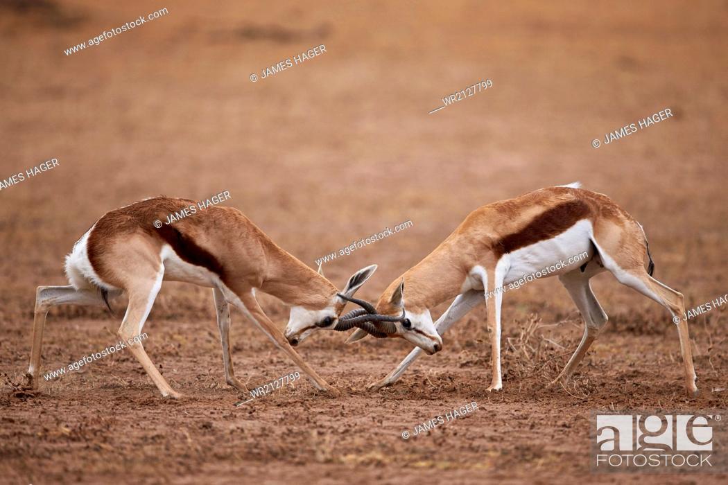 Stock Photo: Two springbok (Antidorcas marsupialis) bucks fighting, Kgalagadi Transfrontier Park, encompassing the former Kalahari Gemsbok National Park, South Africa.