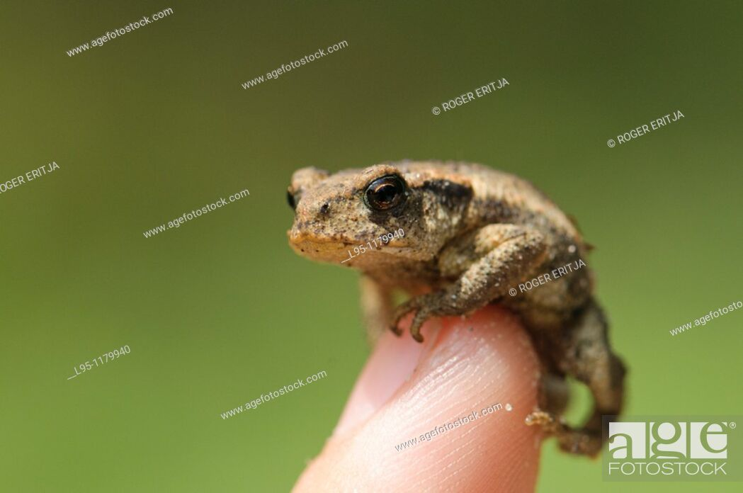 Stock Photo: Young common Toad Bufo bufo, Spain.