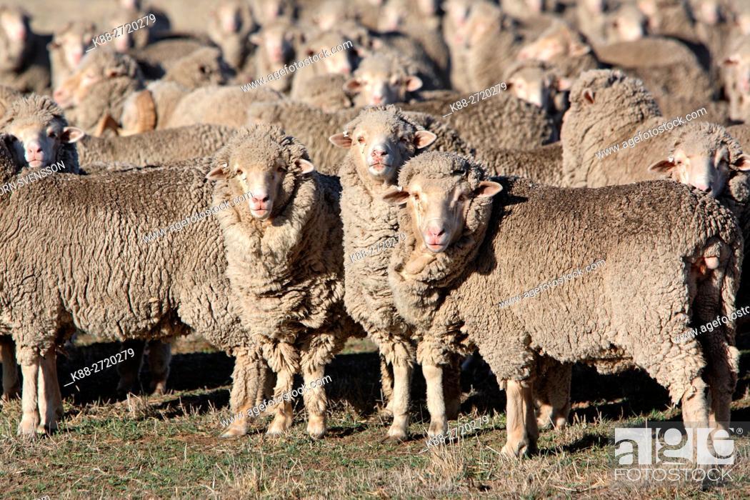 Stock Photo: Sheep on a farm in Western Victoria, Australia.