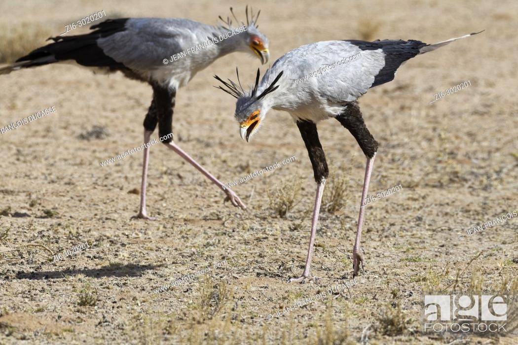 Stock Photo: Secretary birds (Sagittarius serpentarius), adults, looking for prey, concentrated, Kgalagadi Transfrontier Park, Northern Cape, South Africa, Africa.