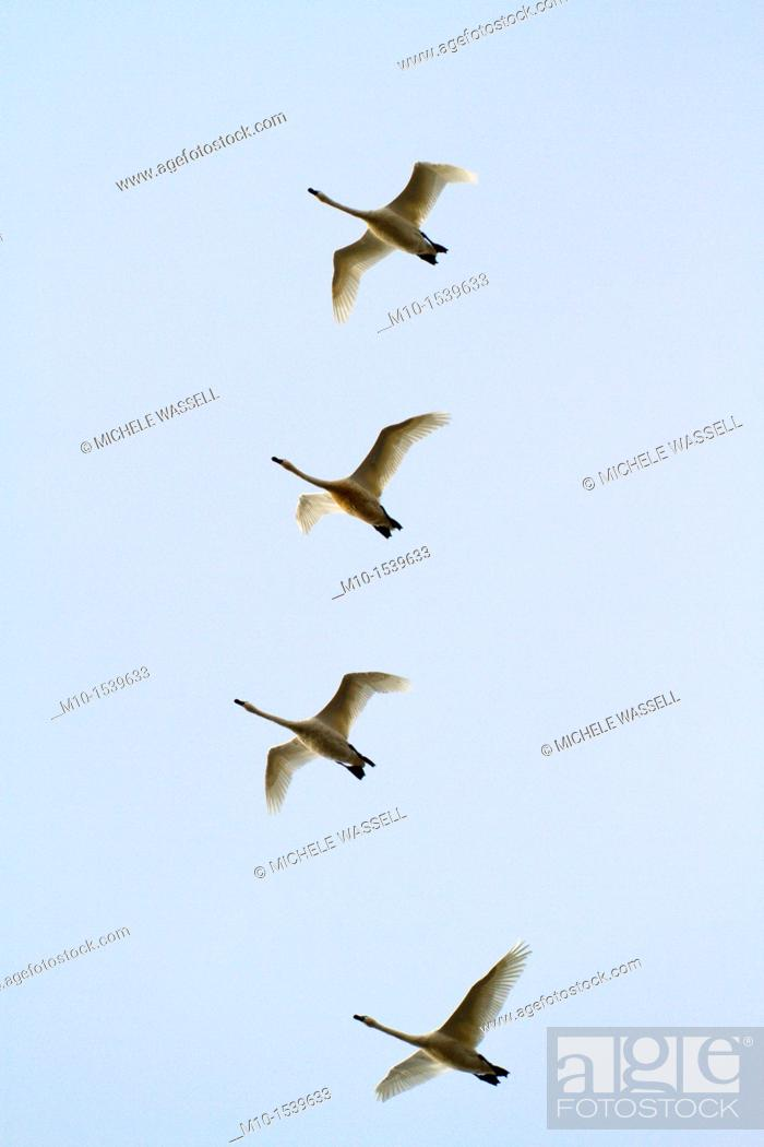 Stock Photo: Snow Geese flying.