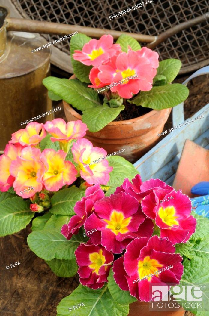 Garden Primrose Primula Sp Flowering