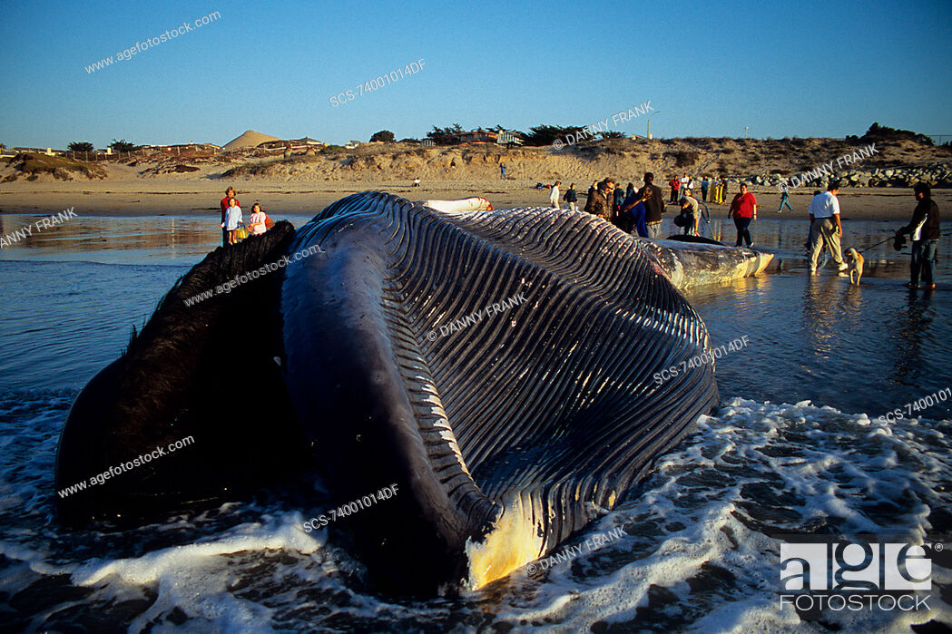 Stock Photo: Blue whale, Balaenoptera musculus, people looking at a dead blue whale calf, view of pleats and baleen, Monterey, California, USA, Pacific ocean.
