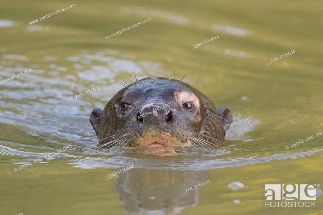 Stock Photo: Giant otter (Pteronura brasiliensis) in water, Pantanal, Mato Grosso, Brazil.