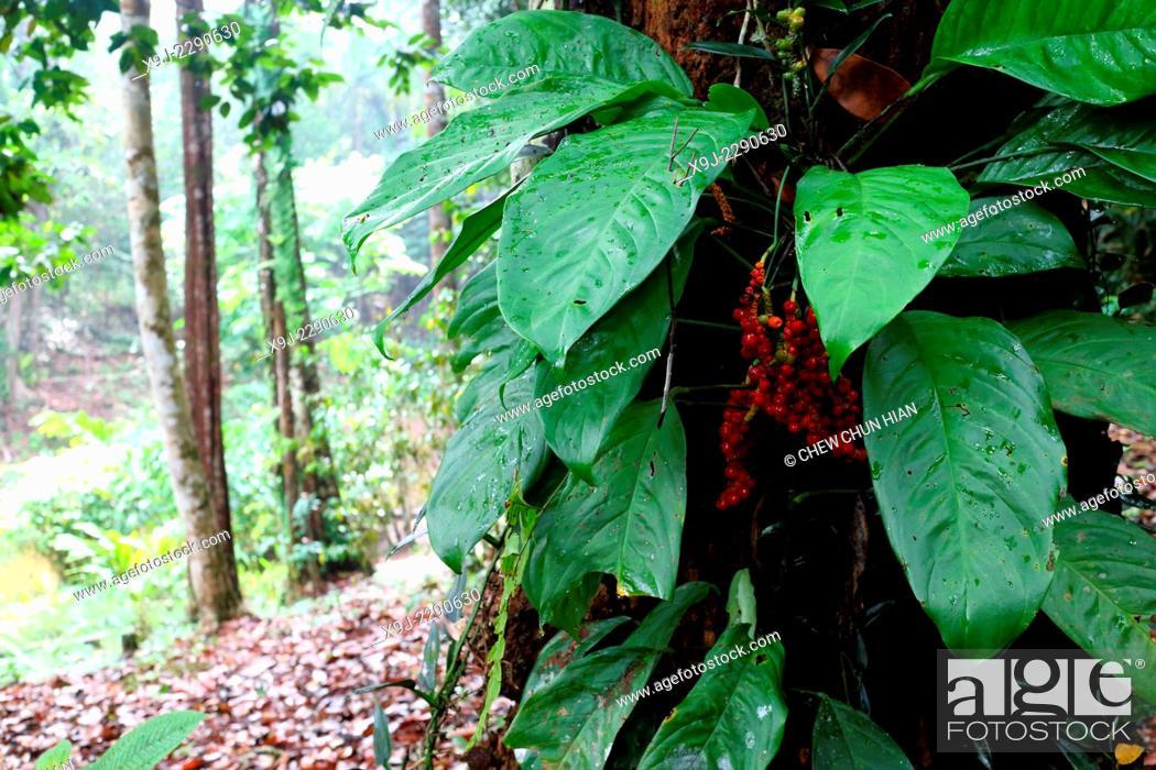 Stock Photo: plant in nature, borneo.