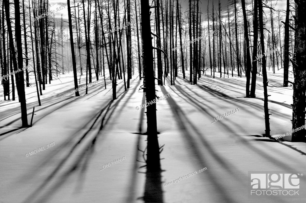 Stock Photo: Silicified trees provide a silhouette against the winter sun at Yellowstone National Park,Wyoming.
