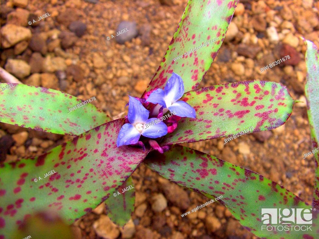 Stock Photo: Neoregelia ampullacea (Neoregelia ampullacea), blooming.
