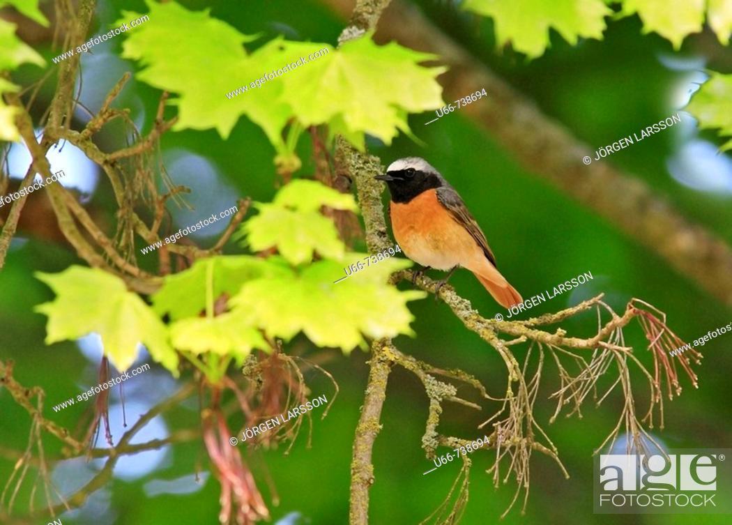 Stock Photo: Common Redstart (Phoenicurus phoenicurus).