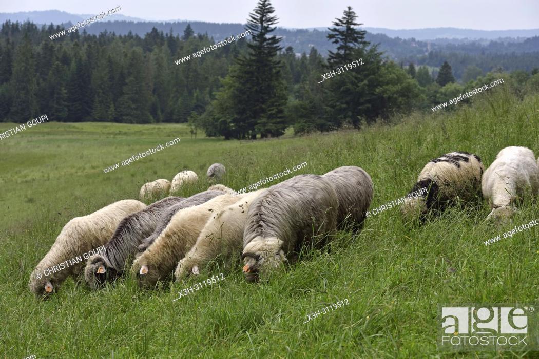 Imagen: troupeau de moutons dans la campagne autour de Zakopane, region Podhale, Massif des Tatras, Province Malopolska (Petite Pologne), Pologne.