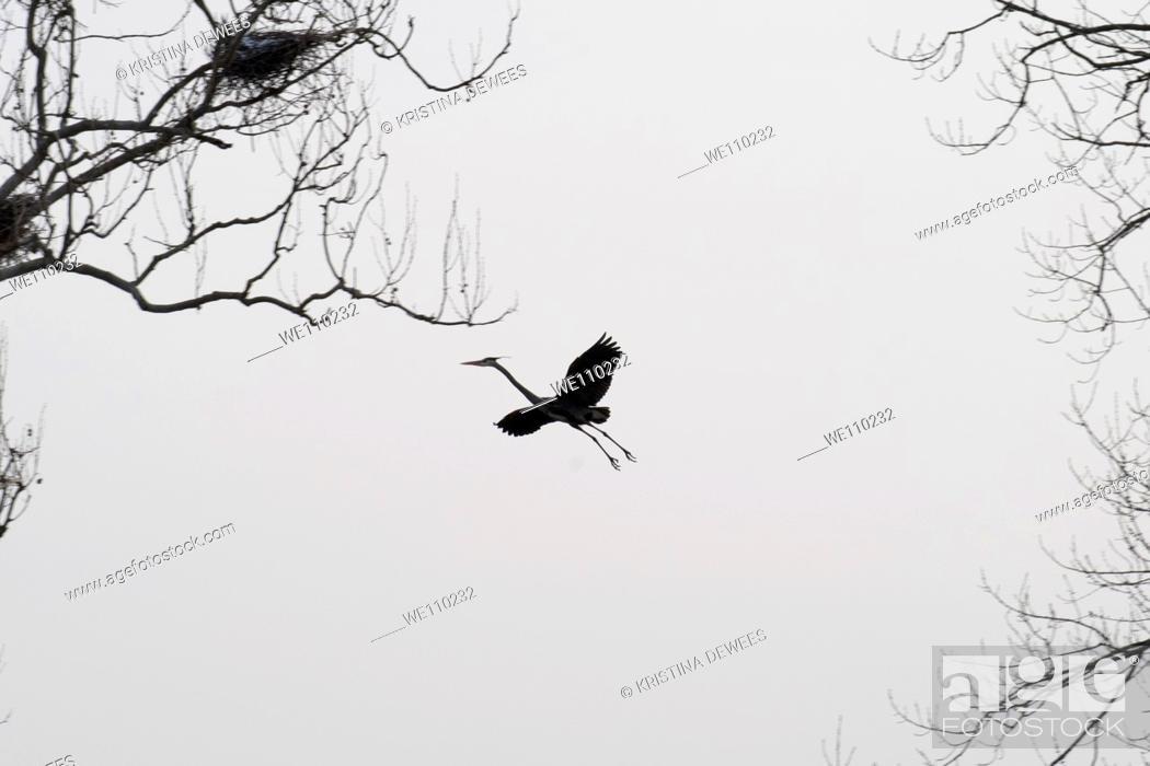 Stock Photo: A Great Blue Heron in flight.