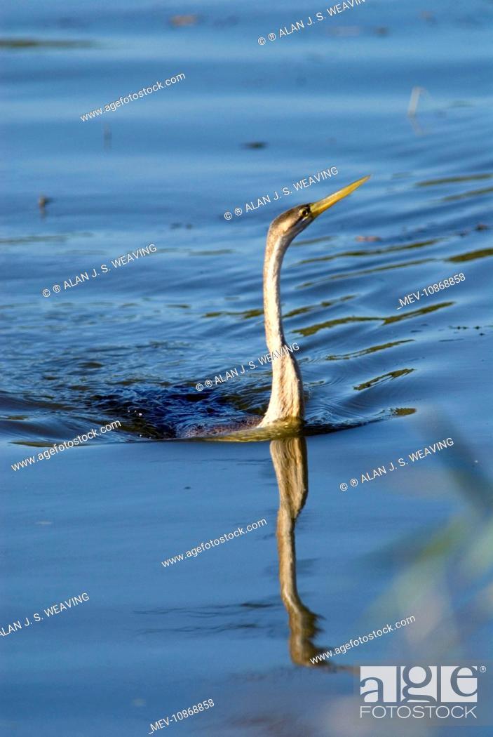Stock Photo: African Darter / Darter / Snakebird fishing in dam with body characteristically submerged. (Anhinga rufa). Andries Vosloo Kudu Reserve, nr.