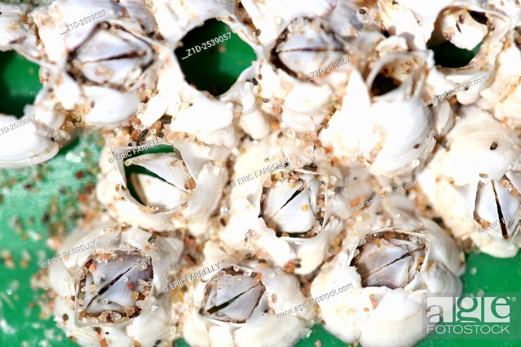 Stock Photo: acorn Barnacles.