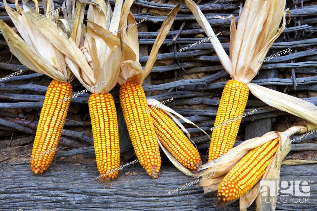 Stock Photo: Corn cobs drying - Hungary.