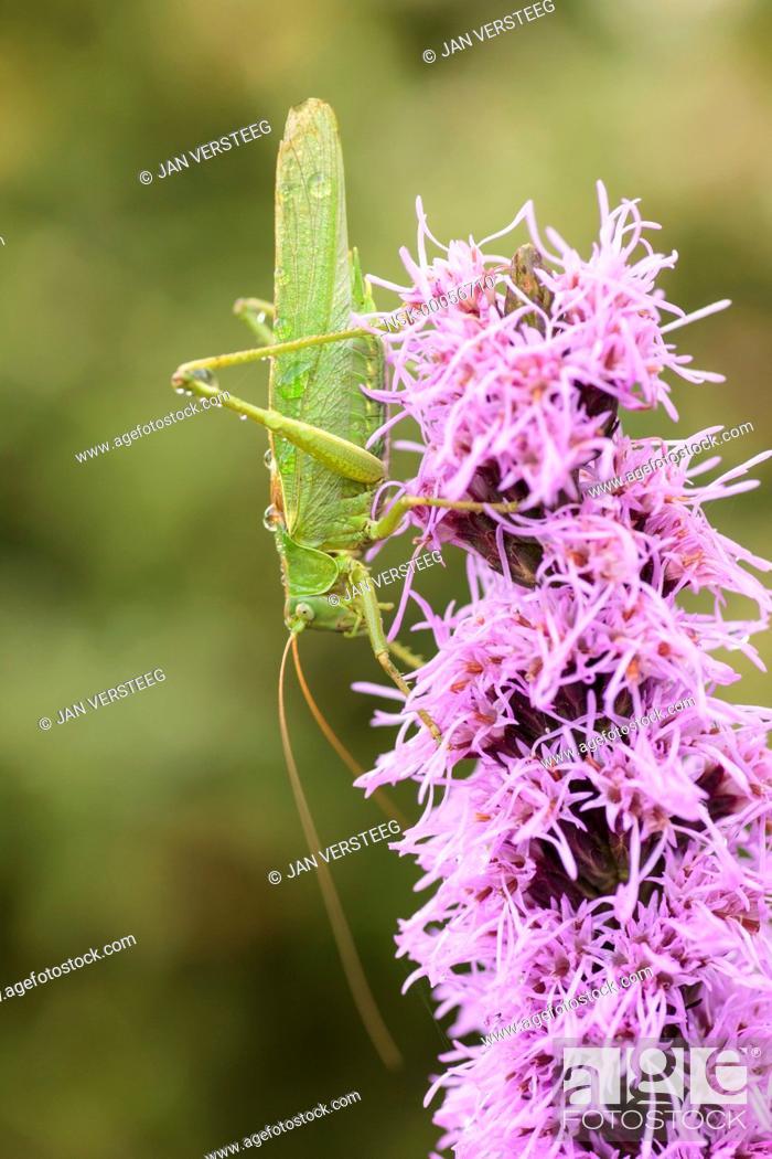 Imagen: Close up of one Great Green Bush-Cricket (Tettigonia viridissima) perched on a flower in the garden, the netherlands, gelderland, elst, garden.