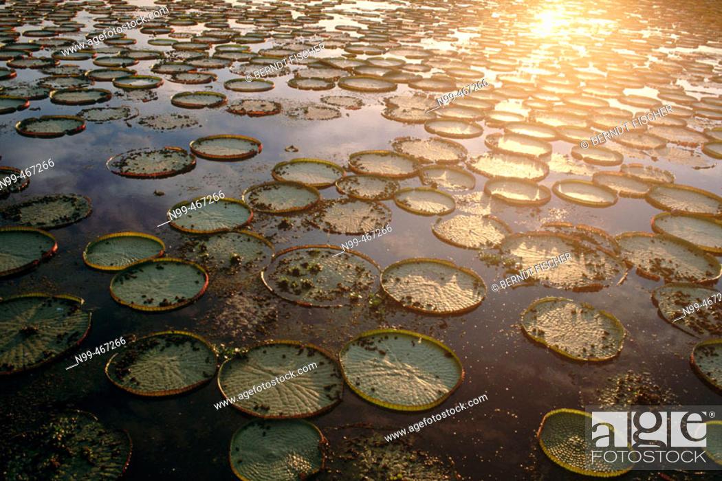 Stock Photo: Victoria water lily (Victoria regia). Leaves in a water pond. Pantanal near Port Joffre. Mato Grosso do Sul. Brazil.