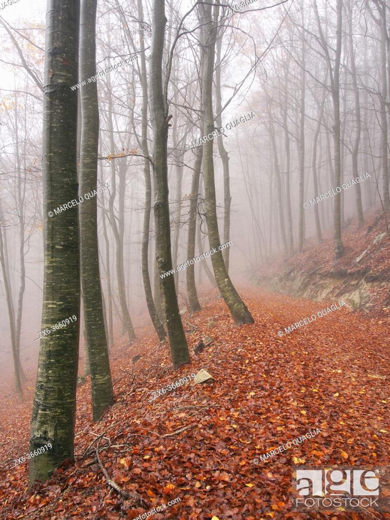 Photo de stock: Foggy autumn beech forest (Fagus sylvatica) at Pla del Rovirol site. Montseny Natural Park. Barcelona province, Catalonia, Spain.