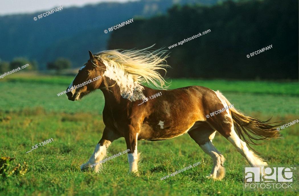Stock Photo: Tinker Pony on meadow.