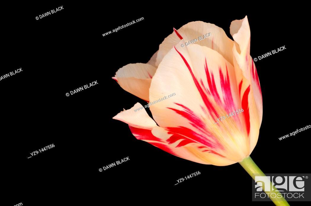 Stock Photo: Tulipa 'Flaming Spring Green'.