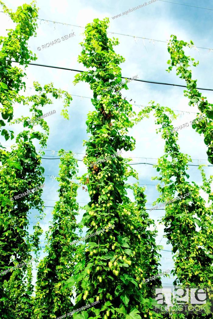 Stock Photo: hops garden, Czech Republci.