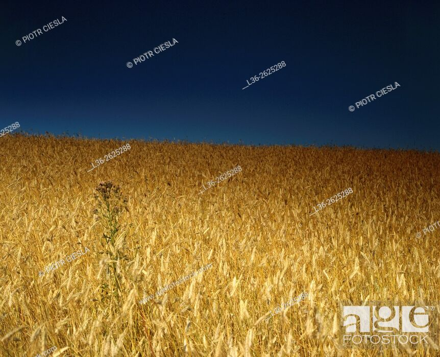 Stock Photo: Rye field. Poland.