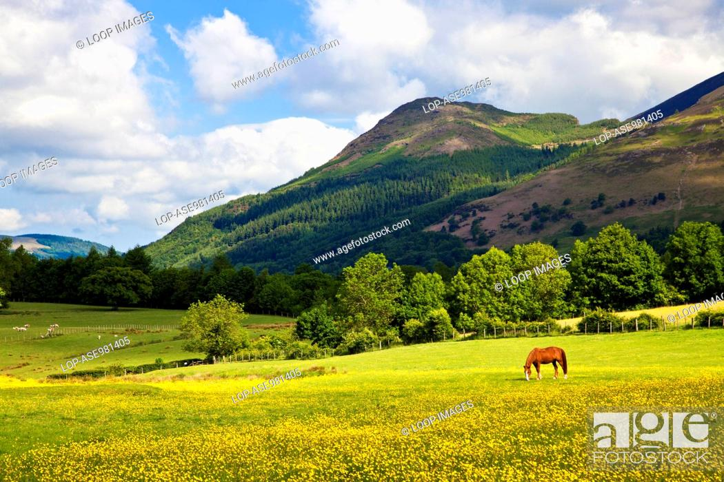Stock Photo: A meadow of buttercups and grazing horse below Dodd near Keswick.