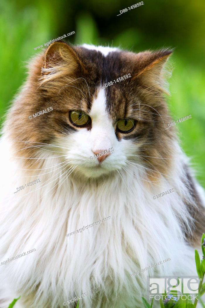 Stock Photo: Domestic cat, Bas-Rhin, France.