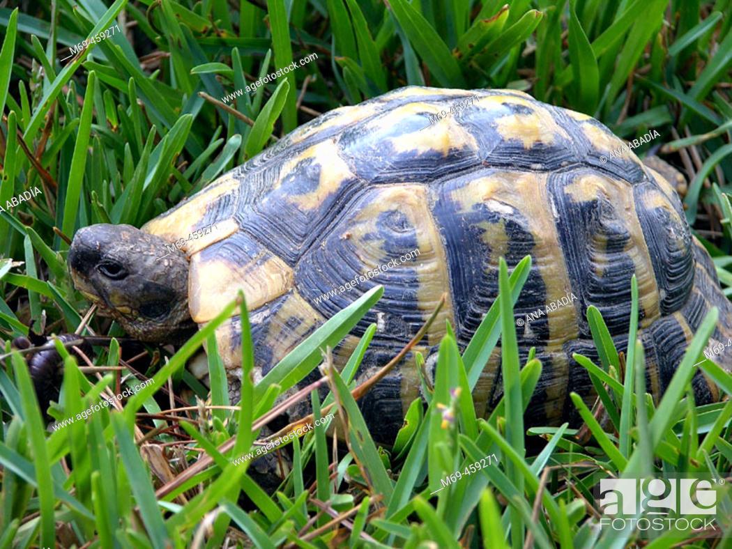 Stock Photo: Mediterranean tortoise.