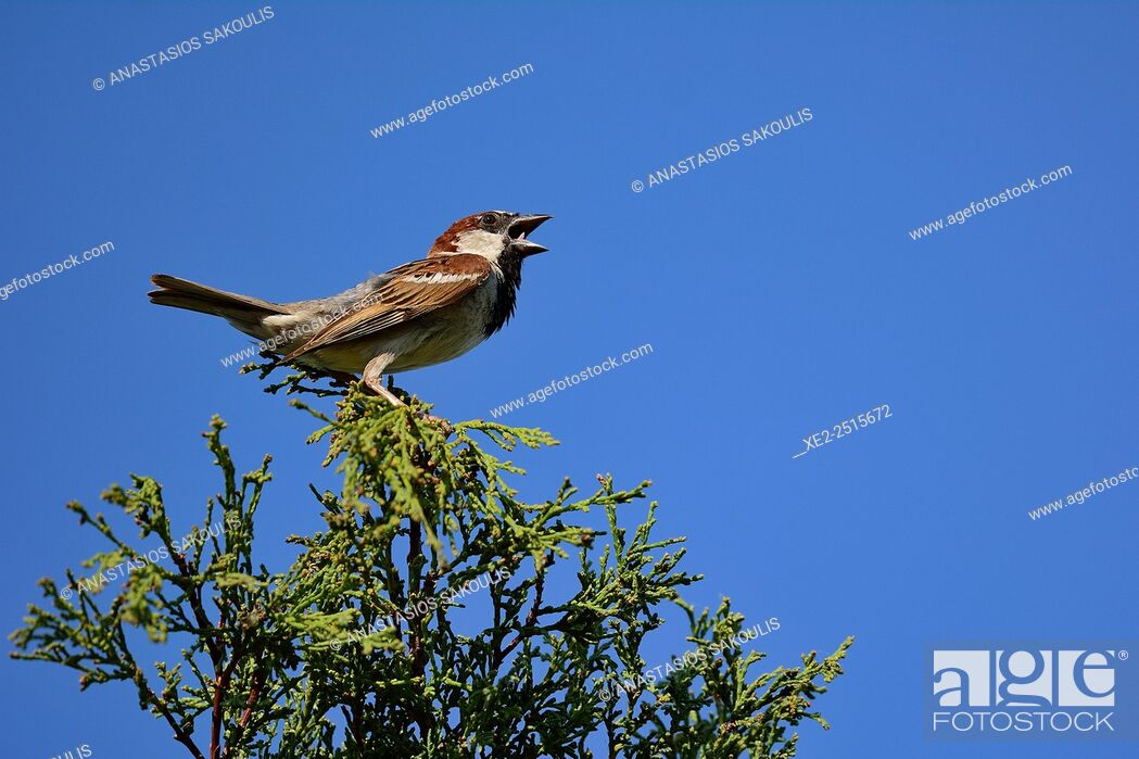 Stock Photo: House Sparrow Passer domesticus, Crete.
