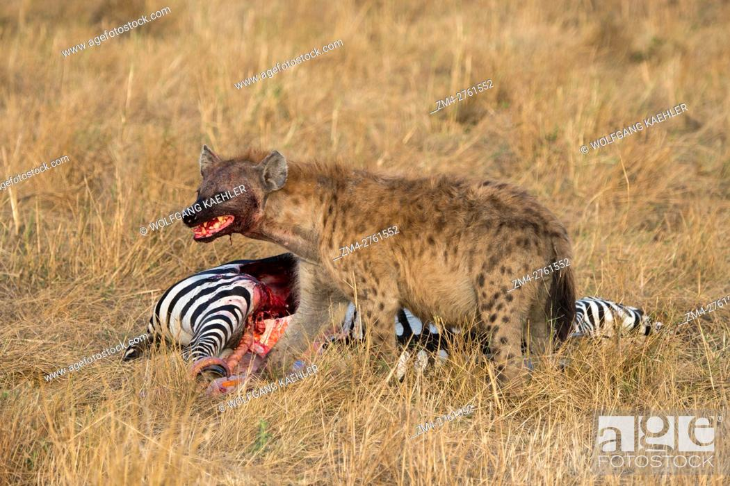 Stock Photo: A Spotted hyena (Crocuta crocuta) is feeding on a zebra they killed in the grassland in the Masai Mara National Reserve in Kenya.